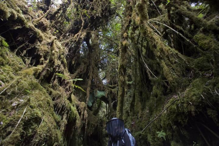 figure dwarfed by rainforest tree roots
