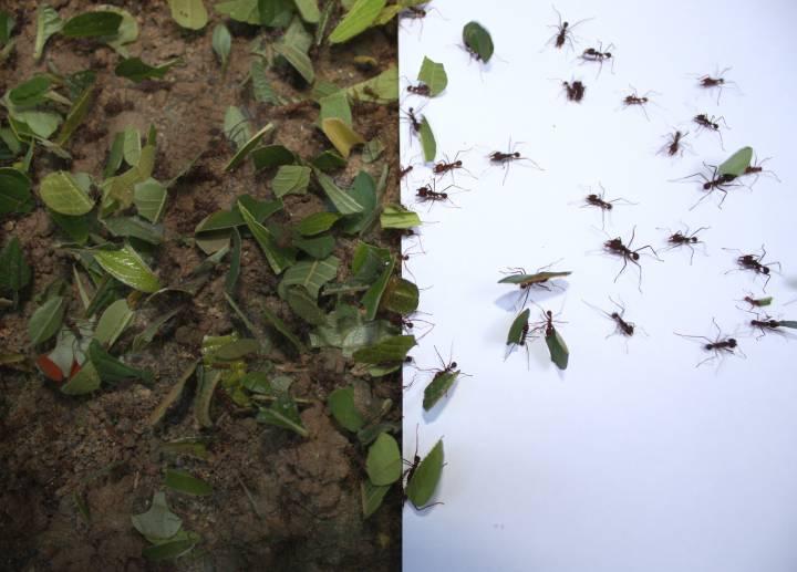 leafcutter ants walk across paper