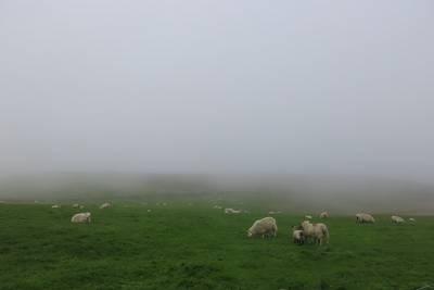 sheep in misty field