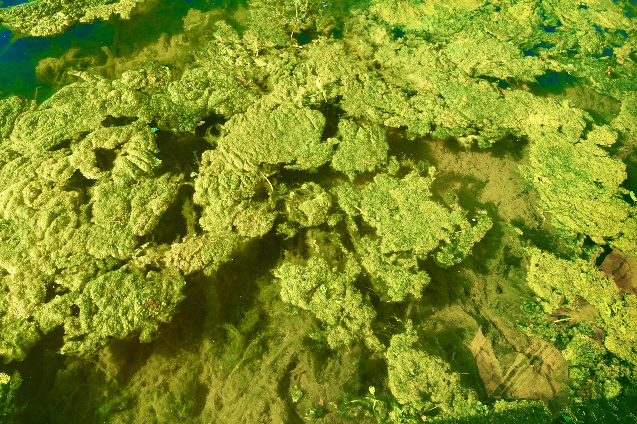 algae bloom in river